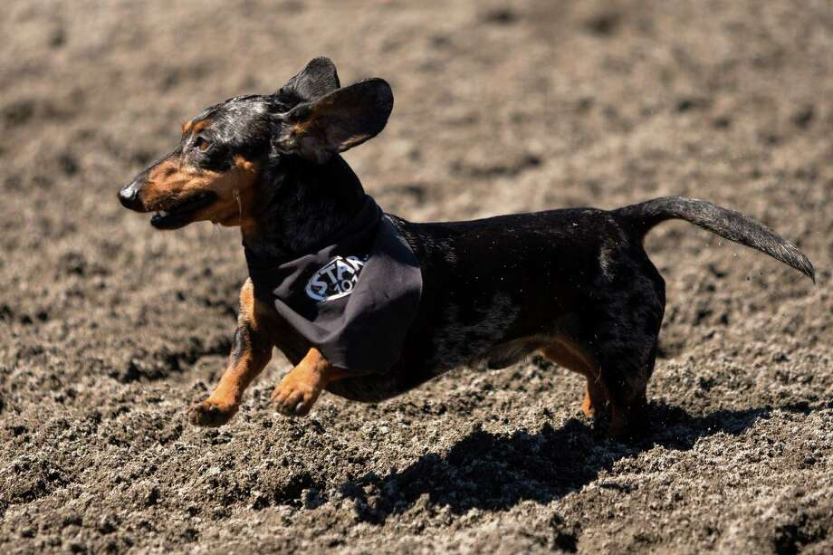 Dogs bounce down the track during the 17th Annual Kent & Alan Wiener Dog Races Sunday, July 14, 2013, at Emerald Downs in Auburn. Three heats of short-legged competition had crowds cheering and participating dog owners rooting for their own little canine athlete. Photo: JORDAN STEAD, SEATTLEPI.COM / SEATTLEPI.COM