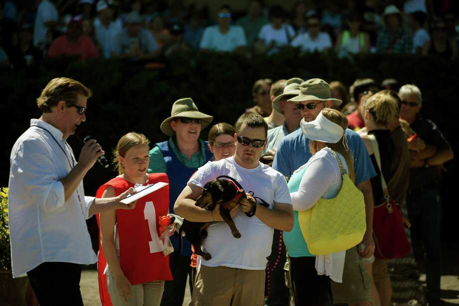Owners, holding their miniature dachshunds, take to the track to go head to head with other dogs at the 17th Annual Kent & Alan Wiener Dog Races Sunday, July 14, 2013, at Emerald Downs in Auburn. Three heats of short-legged competition had crowds cheering and participating dog owners rooting for their own little canine athlete. Photo: JORDAN STEAD, SEATTLEPI.COM / SEATTLEPI.COM