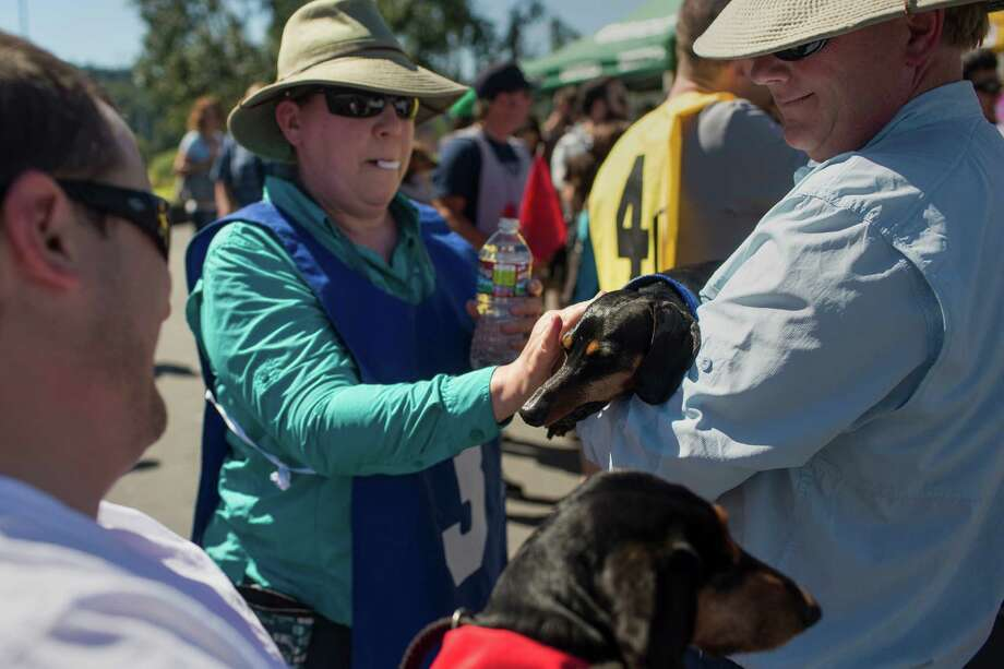 Owners water down their overheated miniature dachshunds before taking to the track to go head to head with other dogs at the 17th Annual Kent & Alan Wiener Dog Races Sunday, July 14, 2013, at Emerald Downs in Auburn. Three heats of short-legged competition had crowds cheering and participating dog owners rooting for their own little canine athlete. Photo: JORDAN STEAD, SEATTLEPI.COM / SEATTLEPI.COM