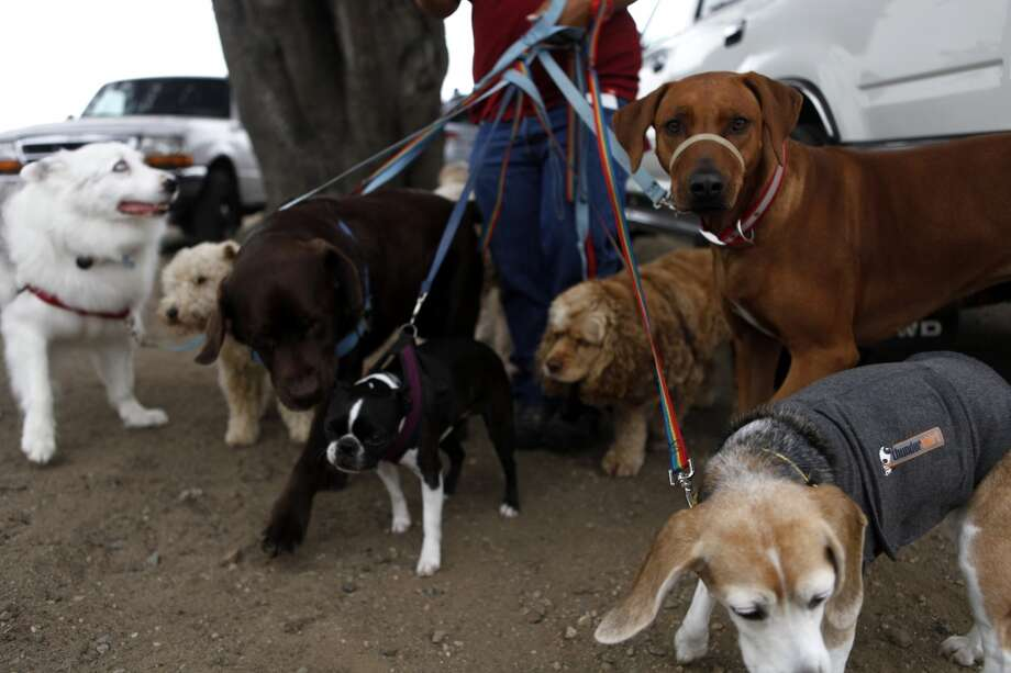Angela Gardner, officer with the Professional Dog Walkers Association, walks eight dogs on East Beach at Crissy Field.