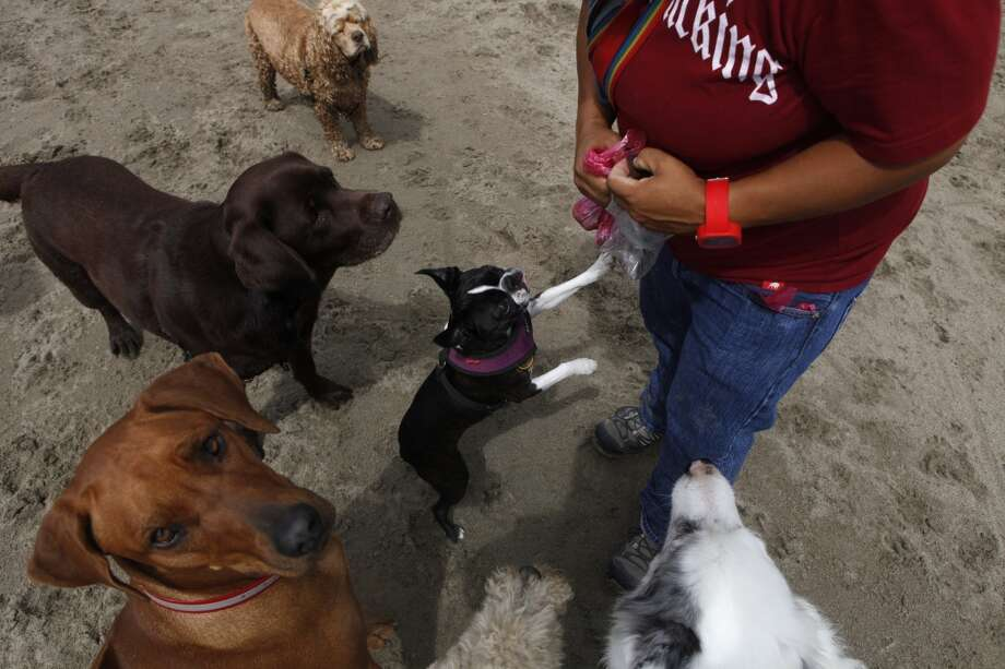 Angela Gardner, officer with the Professional Dog Walkers Association, feeds treats to the eight dogs she walks on East Beach at Crissy Field on Friday, July 12, 2013 in San Francisco, Calif.
