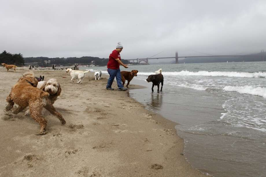 Angela Gardner, officer with the Professional Dog Walkers Association, walks eight dogs on East Beach at Crissy Field on Friday, July 12, 2013 in San Francisco, Calif.