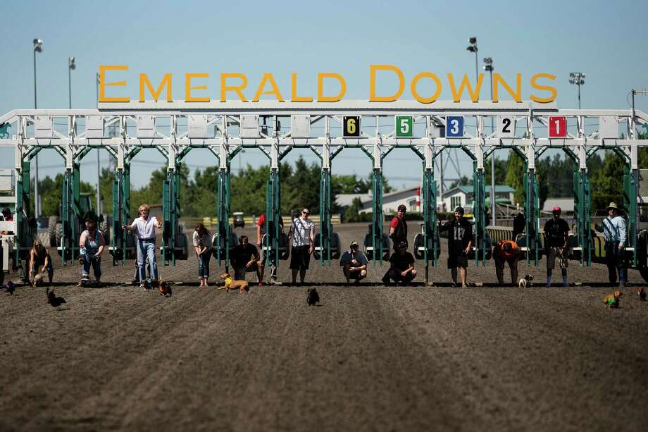 Miniature dachshunds scatter across the track, running amok during the first heat of the 17th Annual Kent & Alan Wiener Dog Races Sunday, July 14, 2013, at Emerald Downs in Auburn. Three heats of short-legged competition had crowds cheering and participating dog owners rooting for their own little canine athlete. Photo: JORDAN STEAD, SEATTLEPI.COM / SEATTLEPI.COM