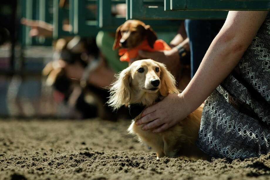 Miniature dachshunds wait at the gate during the 17th Annual Kent & Alan Wiener Dog Races Sunday, July 14, 2013, at Emerald Downs in Auburn. Three heats of short-legged competition had crowds cheering and participating dog owners rooting for their own little canine athlete. Photo: JORDAN STEAD, SEATTLEPI.COM / SEATTLEPI.COM