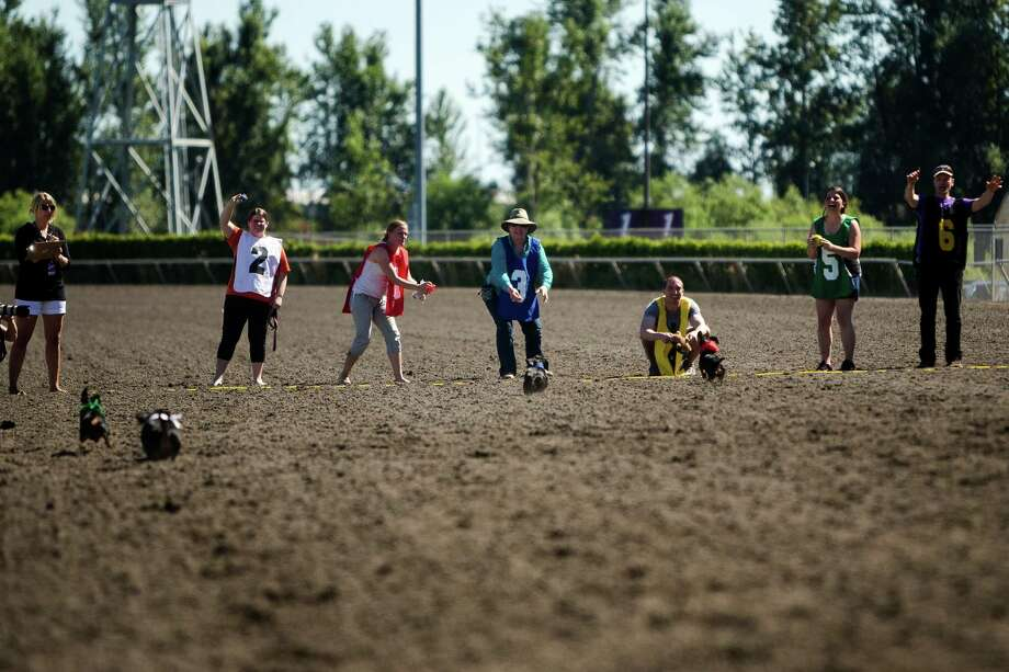 Miniature dachshunds scatter across the track, running amok toward their owners during the first heat of the 17th Annual Kent & Alan Wiener Dog Races Sunday, July 14, 2013, at Emerald Downs in Auburn. Three heats of short-legged competition had crowds cheering and participating dog owners rooting for their own little canine athlete. Photo: JORDAN STEAD, SEATTLEPI.COM / SEATTLEPI.COM