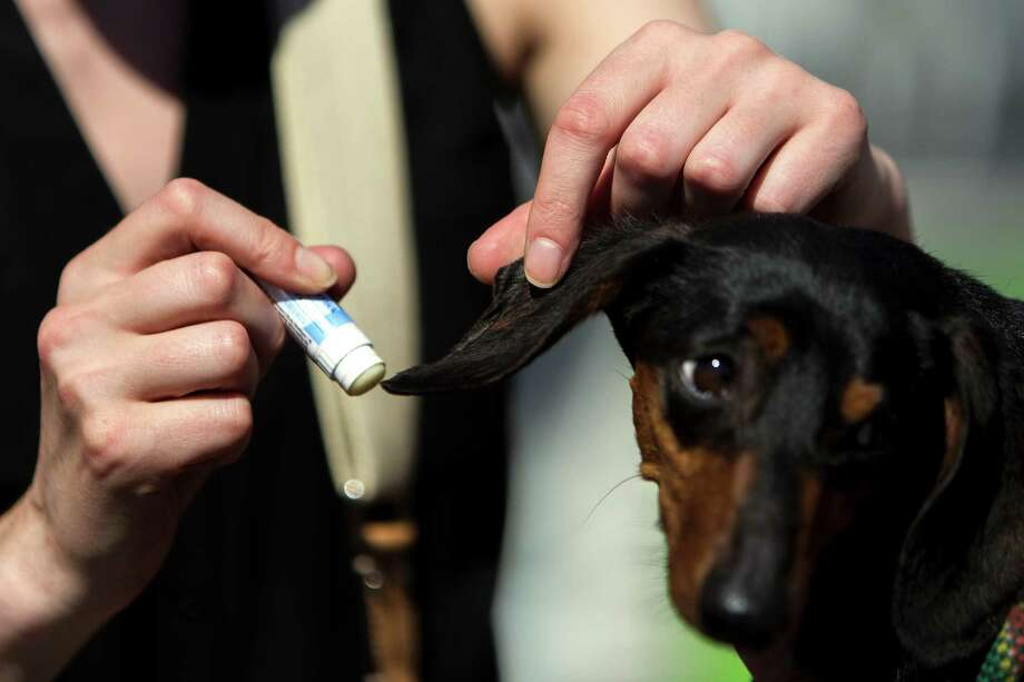 A woman applies sunscreen Chapstick to her dog's sunburned ears at the 17th Annual Kent & Alan Wiener Dog Races Sunday, July 14, 2013, at Emerald Downs in Auburn. Three heats of short-legged competition had crowds cheering and participating dog owners rooting for their own little canine athlete. Photo: JORDAN STEAD, SEATTLEPI.COM / SEATTLEPI.COM