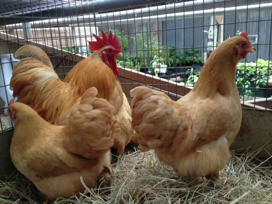 Wabash Antiques & Feed Store in Houston will host a lecture about chickens July 27. Photo: Provided By Wabash Antiques & Feed Store