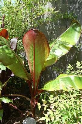 Ensete ventricosum  Maurelii  also known as red banana.