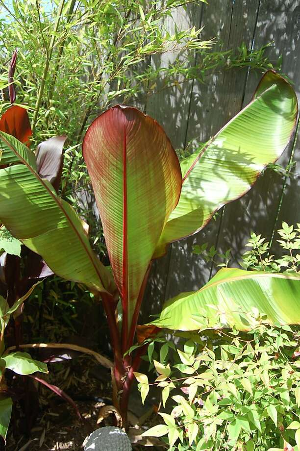 Leaves of the red banana plant can reach 10 to 12 feet long in Bay Area climes and offer rich reds and greens to any garden. Photo: Erle Nickel, X