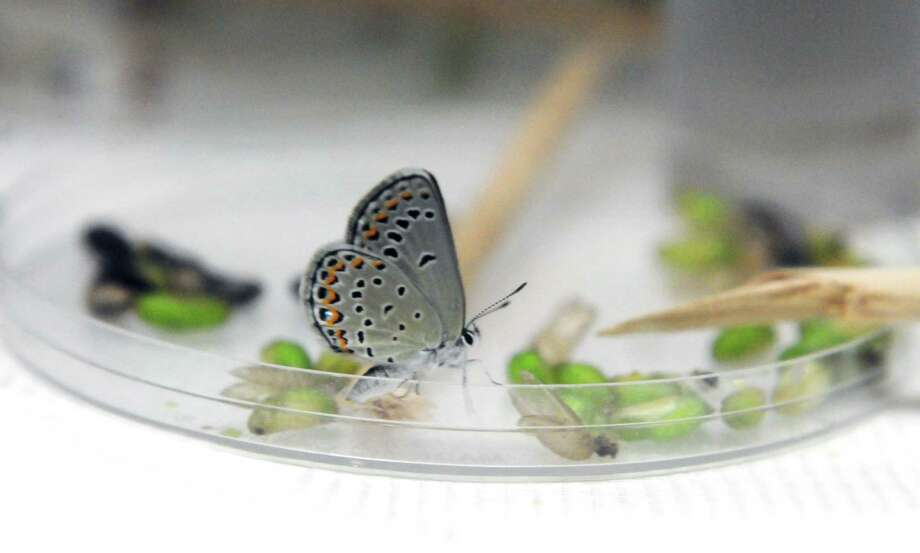 Karner Blue butterflies are hatched in captivity Monday afternoon, July 15, 2013, at the Pine Bush Discovery Center in Albany, N.Y. (Will Waldron/Times Union) Photo: WW / 00023149A