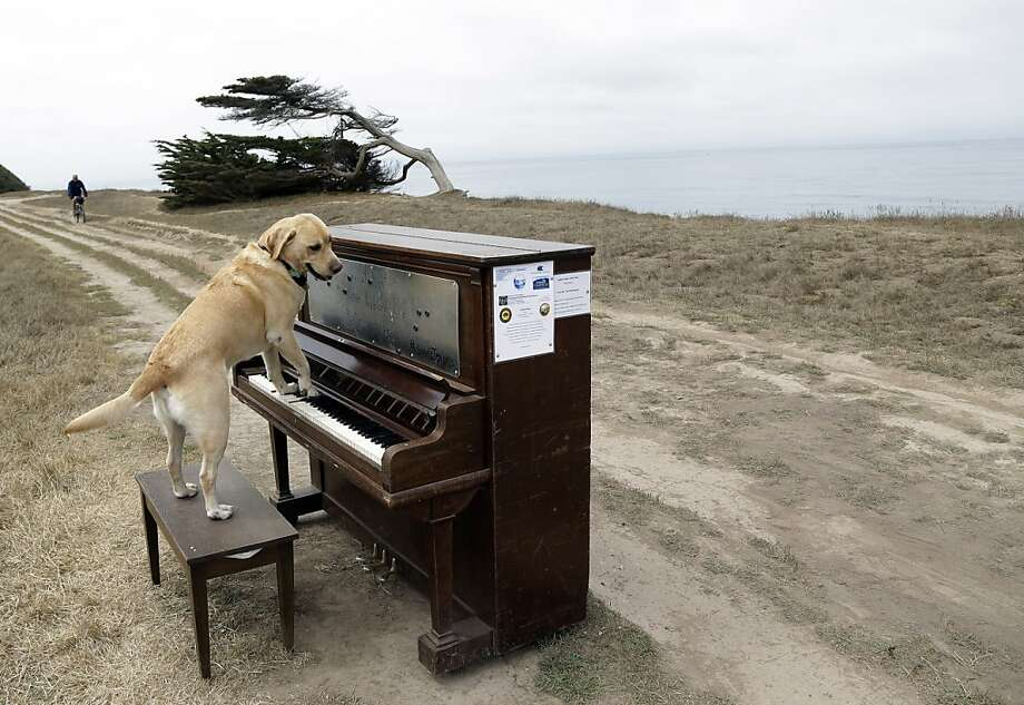 "His Bach is worse than his bite: Spencer the service dog tickles the ivories at Poplar State Beach in Half Moon Bay. The piano is one of 12 that have been placed along the San Mateo County coastline as part of the project ""Opus Two for Twelve Pianos"" by artist Mauro Ffortissimo. Visitors are encouraged to play them. Photo: Marcio Jose Sanchez, Associated Press"