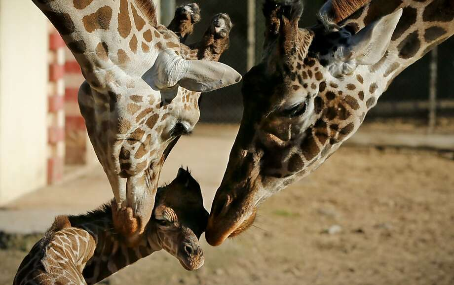 Proud parents: Dad and Mom (Buddy and Jacky) poke their newborn at the Buenos Aires Zoo in Argentina. The baby giraffe is 4 days old. Photo: Victor R. Caivano, Associated Press