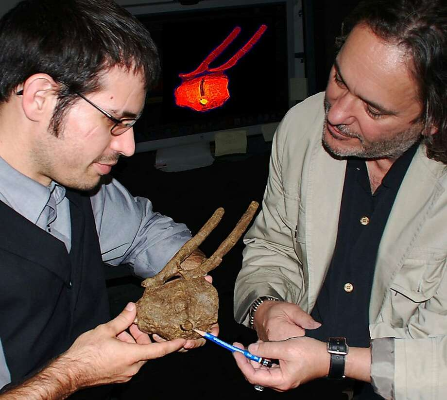 Bitten in the butt by T-rex:Researchers Robert A. DePalma II (left) and David A. Burnham examine a hadrosaur tailbone embedded with the tooth crown of a Tyrannosaurus rex. Bone regrowth indicates that the duckbill survived the encounter and lived months or even years afterward. Photo: Associated Press