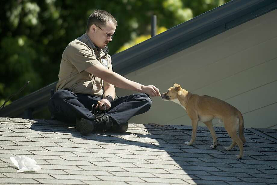 Why you should always travel with pieces of hot dog in your pocket: Clark County Animal Control officer Patrick Higbie coaxes a small dog with bits of frankfurter on the roof of a home in Vancouver, Wash. How the Chihuahua mix got on the roof is a good question. The owner was not aware of the pooch until his own dog alerted him to its presence while heading out for a walk. Photo: Troy Wayrynen, Associated Press