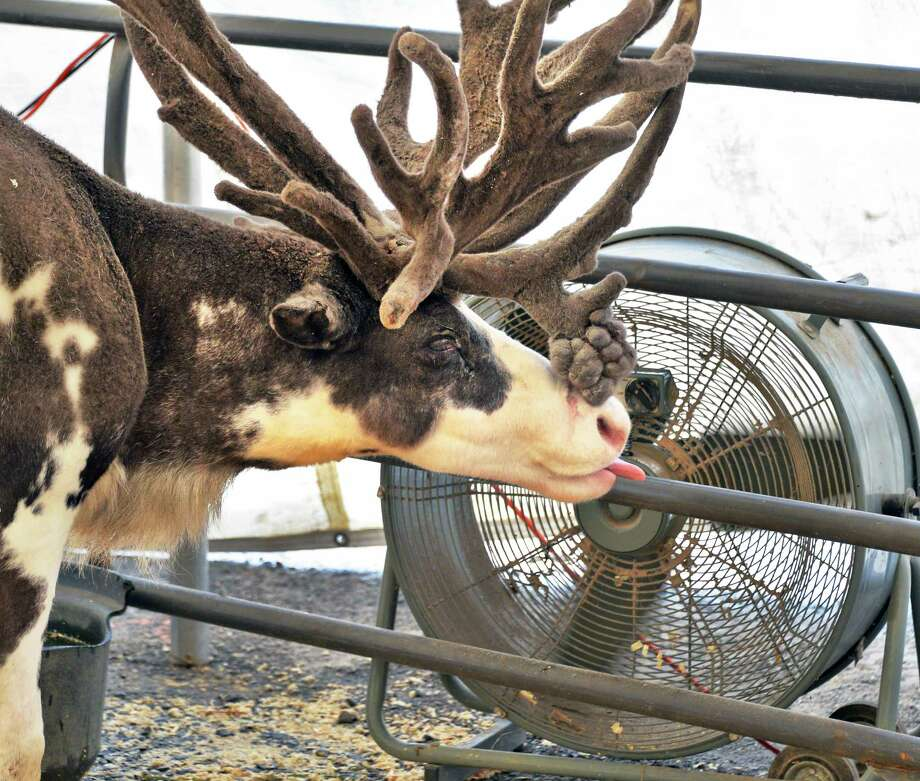 A reindeer keeps cool at a large fan at the Saratoga County Fair in Ballston Spa, NY Tuesday July 16, 2013.  .(John Carl D'Annibale / Times Union) Photo: John Carl D'Annibale / 00023171A