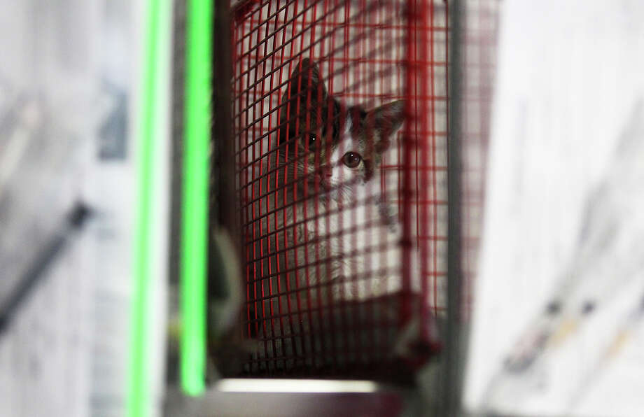 A kitten awaits for her sterilization procedure at the city's Animal Care Services department. The facility performed about 100 spay and neuter surgeries on Tuesday, July 16, 2013. The procedures are done as part of the process to getting the animals adopted from the shelter. Photo: Kin Man Hui, San Antonio Express-News / ©2013 San Antonio Express-News