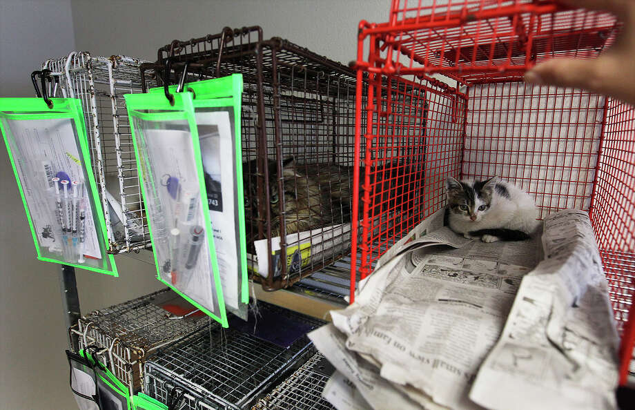 Cats await their sterilization procedures at the city's Animal Care Services department. The facility performed about 100 spay and neuter surgeries on Tuesday, July 16, 2013. The procedures are done as part of the process to getting the animals adopted from the shelter. Photo: Kin Man Hui, San Antonio Express-News / ©2013 San Antonio Express-News