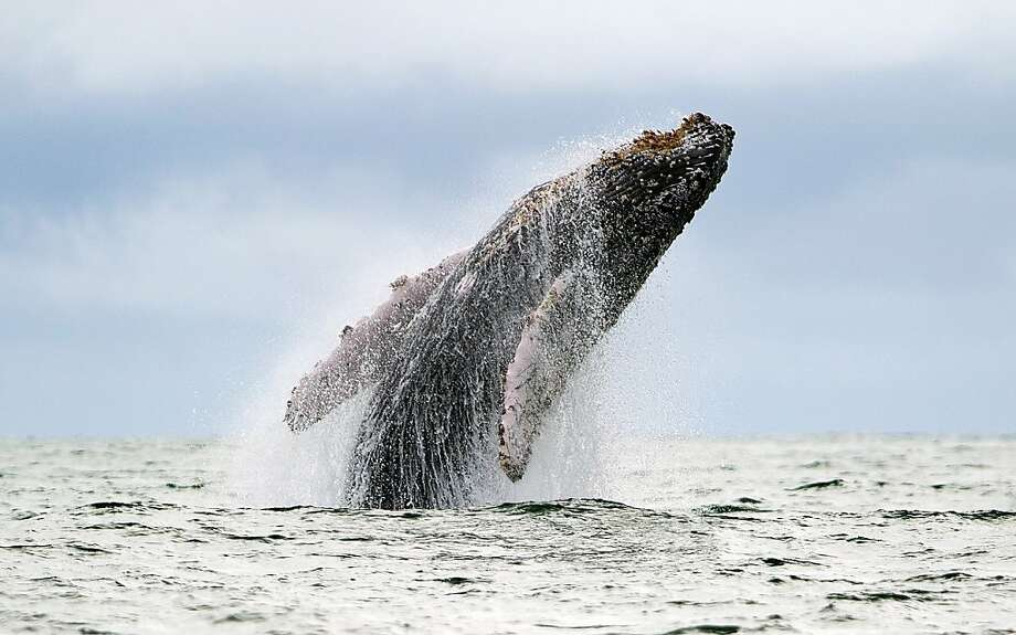 Hump day:A humpback whale breaches in the Pacific Ocean at Colombia's Uramba Bahia Malaga 