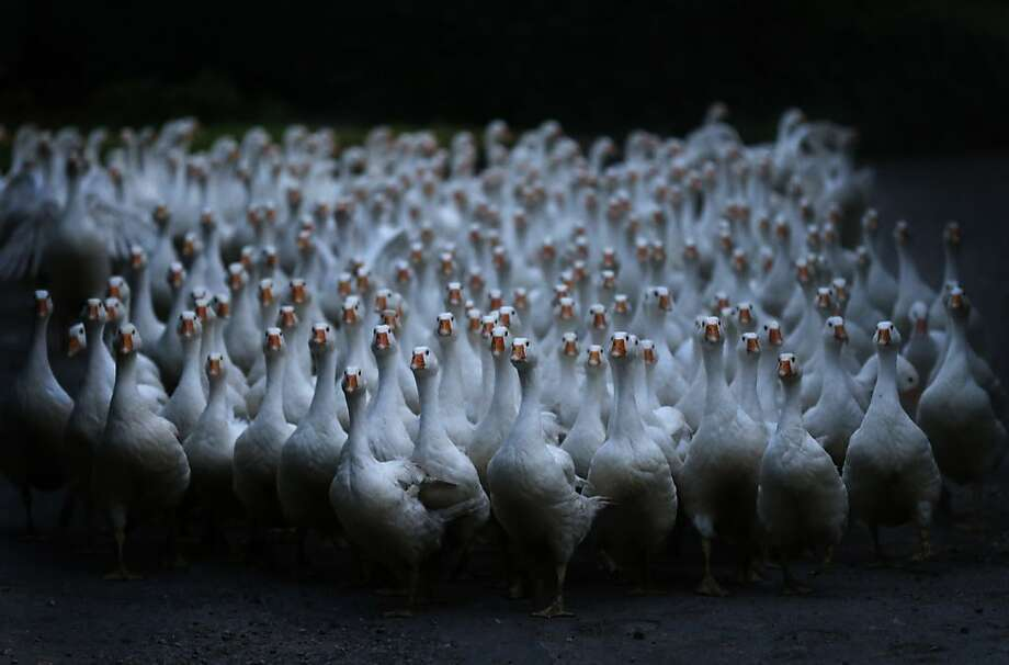 We want a word with the farmer:Geese that will be slaughtered for traditional Christmas dinners in Germany assemble by a street in Duisburg. Photo: Frank Augstein, Associated Press