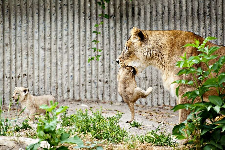 Hey, it's dark in here! At the Copenhagen Zoo, a mother lioness gulps down her cub past the forelegs in order to transport the 5-week-old rascal. Photo: Marcus Trappaud Bjoern, Associated Press