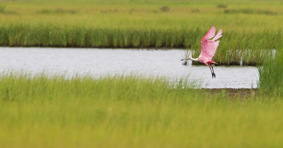 A Roseate Spoonbill leaves a pond of water that was left when the tide dried out the marsh at the Houston Audubon Sanctuary, Monday, July 15, 2013, on the Bolivar Peninsula. Photo: Nick De La Torre, Houston Chronicle / © 2013  Houston Chronicle