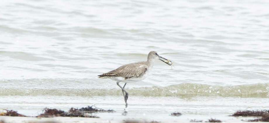 A Willet eats a crab on the beach of the Houston Audubon Sanctuary, Monday, July 15, 2013, on the Bolivar Peninsula. Photo: Nick De La Torre, Houston Chronicle / © 2013  Houston Chronicle