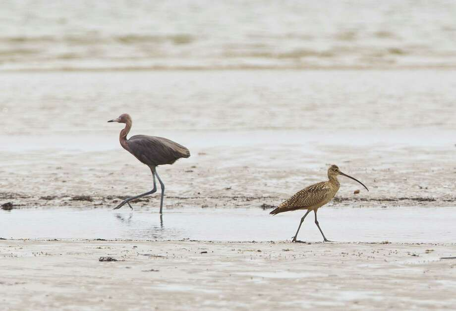 A Redish Egret, left, and a Long-billed Curlew scavenge for food on the beach , Monday, July 15, 2013, at the Houston Audubon Sanctuaries in Bolivar Peninsula. Photo: Nick De La Torre, Houston Chronicle / © 2013  Houston Chronicle