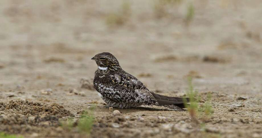 A Common Nighthawk stands still on the ground to lure predators to it's self from a nearby nest at the Houston Audubon Sanctuary, Monday, July 15, 2013, on the Bolivar Peninsula. Photo: Nick De La Torre, Houston Chronicle / © 2013  Houston Chronicle