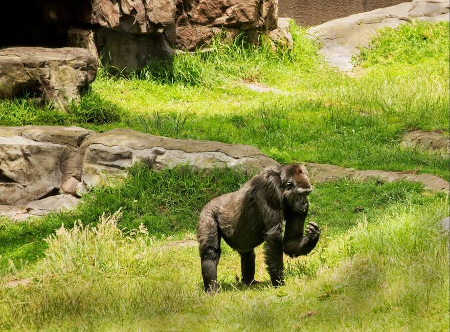 Mother Nneka, a 14-year-old western lowland gorilla, at the San Francisco Zoo.