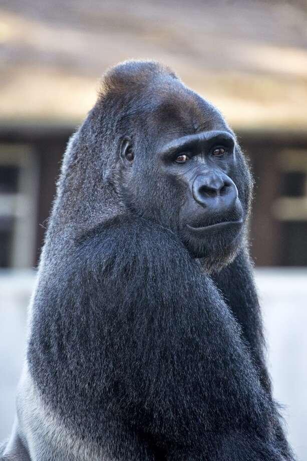 Father Oscar Jonesy, a 330-pound, 31-year-old, western lowland silverback gorilla.