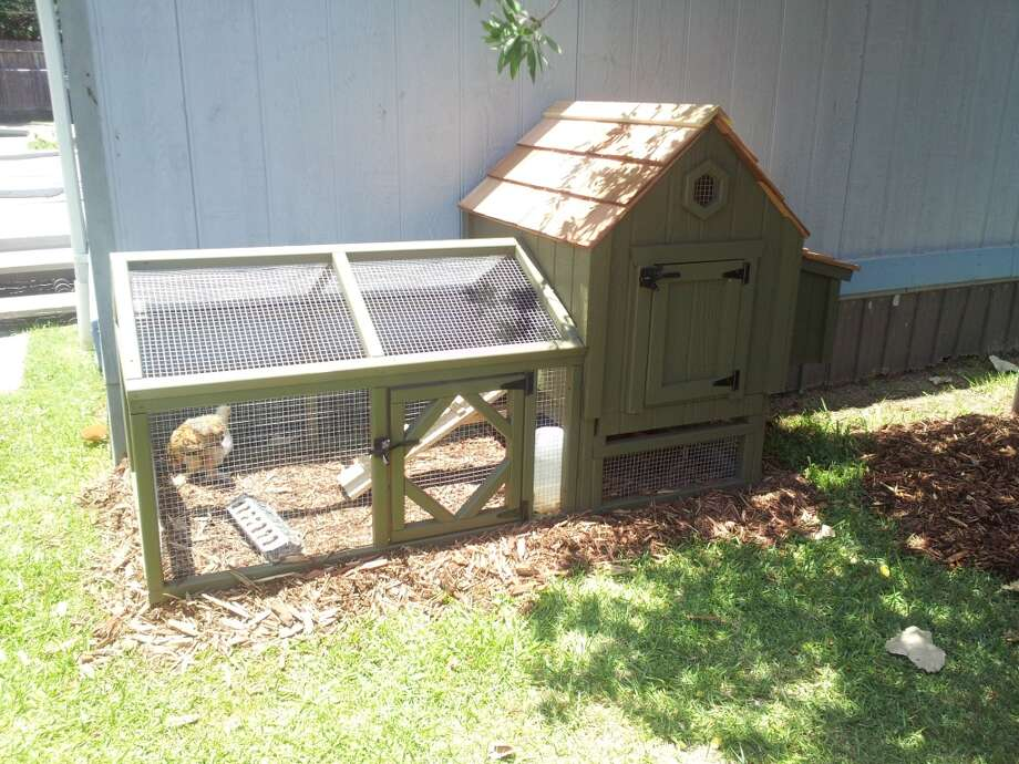 10-week-old chicks Fluffy Pants and Flappy in their new Arhaus coop at Houston's Crossroads School.