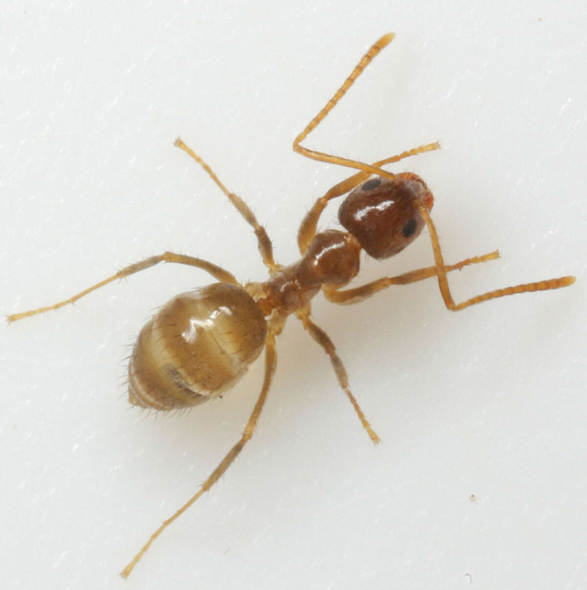 Crazy ants are taking over parts of Texas. Here's a few things to know about these critters. Although small in size, crazy ants colonize by the millions and can wreak havoc on wildlife and personal property.