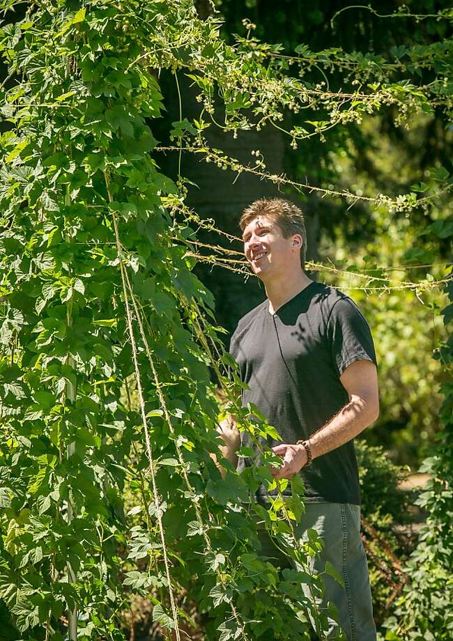 Daniel Del Grande checks on organic hops in Oakland. An organic vegetable eater when he bought Bison Brewing Co. in 1997, he decided to go organic at work. The hops markets only recently caught up with him. Photo: John Storey, Special To The Chronicle