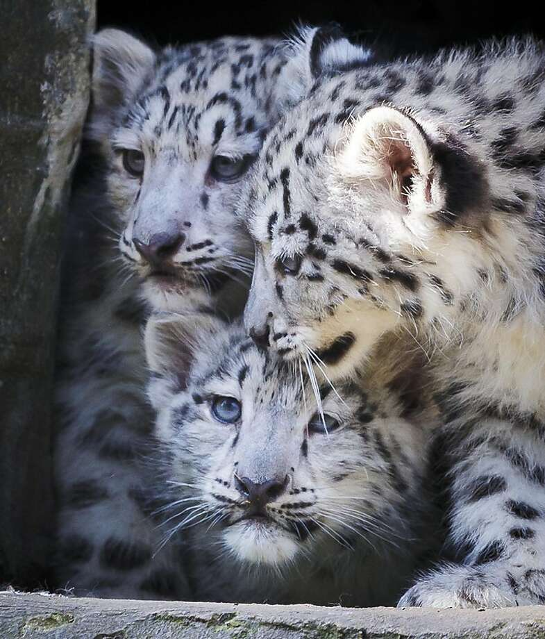 Snow day at the zoo:Cautious snow leopard cubs, 12 weeks old, huddle together before venturing out of 