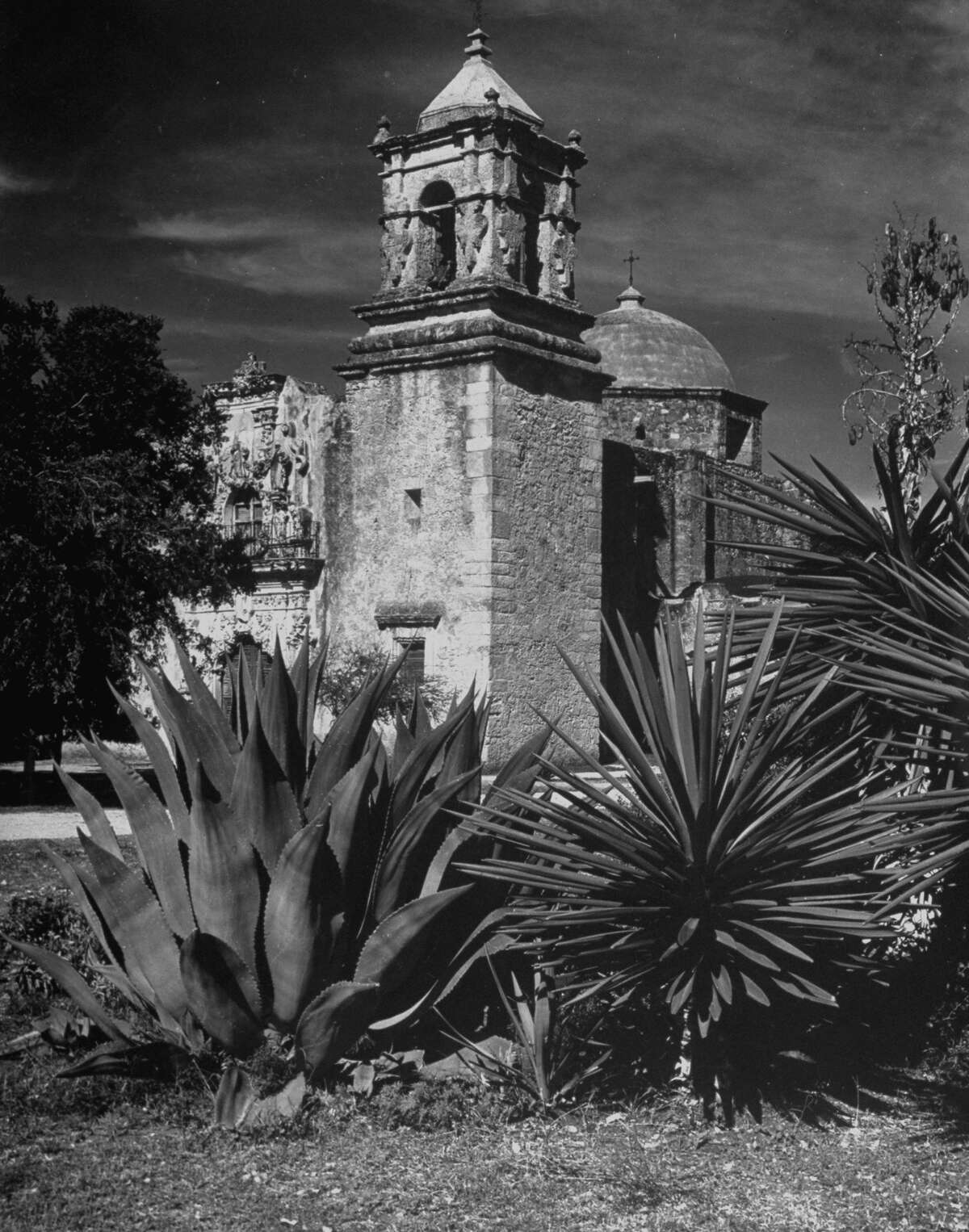 Cactus growing around Mission San José on Dec. 31, 1944.