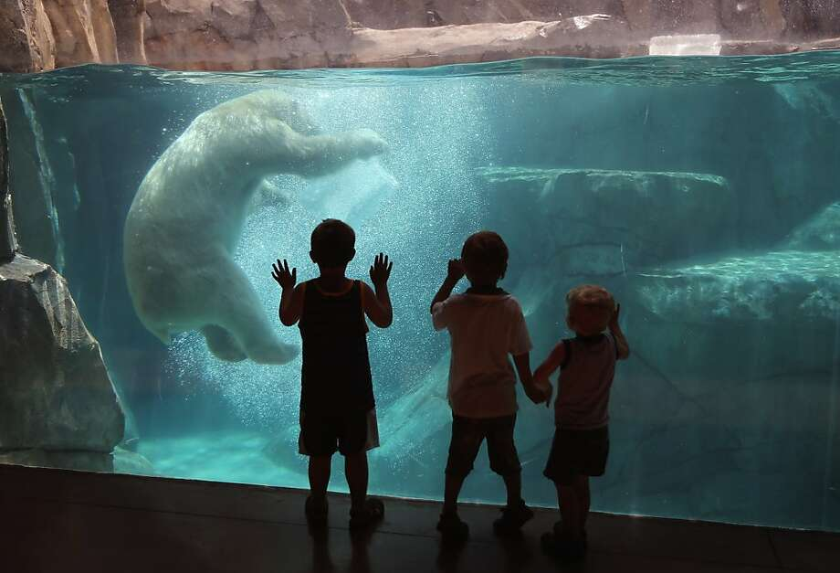 Chilled bruin: Hudson ignores young zoo-goers as he plays with a block of ice during a swim in his 