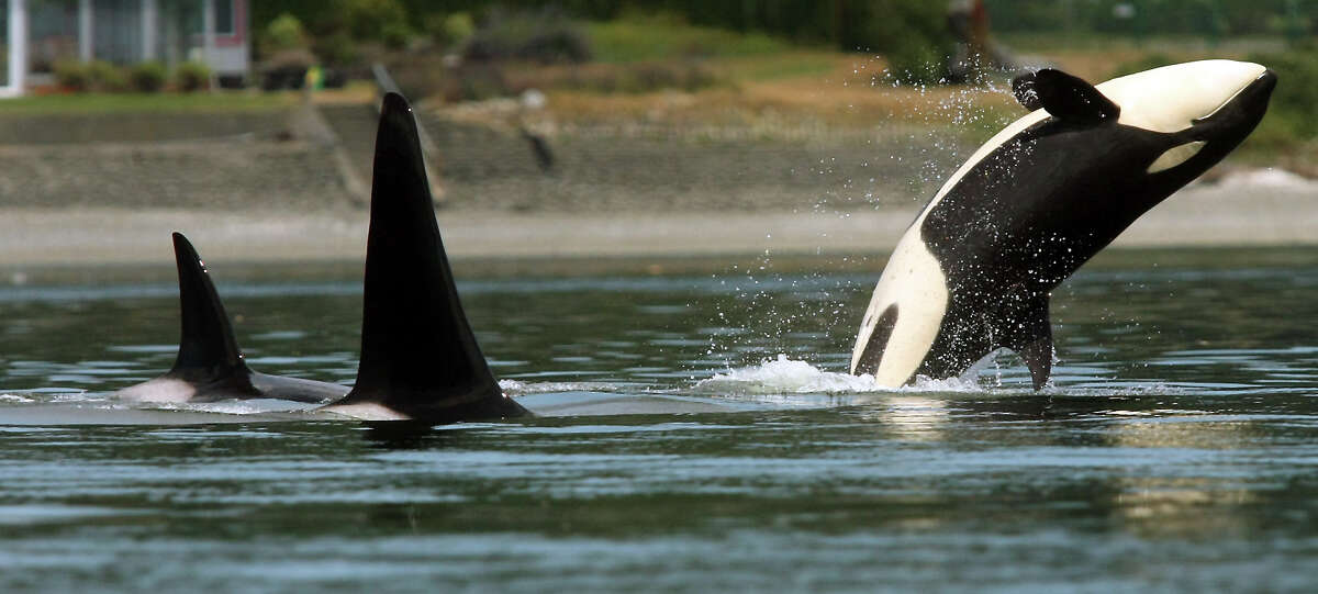 An orca breaches as the pod swims through Poulsbo's Liberty Bay on Thursday. Orca Network Director Howard Garrett says the whales are believed to represent three generations of one family. Garrett said transient whale visits to Puget Sound are common. (AP Photo/Kitsap Sun, Meegan M. Reid)