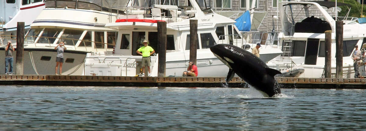 An orca breaches in front of onlookers lining the docks of the Liberty Bay Marina on Thursday, July 18. Orca Network Director Howard Garrett says the whales are believed to represent three generations of one family. Garrett said transient whale visits to Puget Sound are common. (AP Photo/Kitsap Sun, Meegan M. Reid)