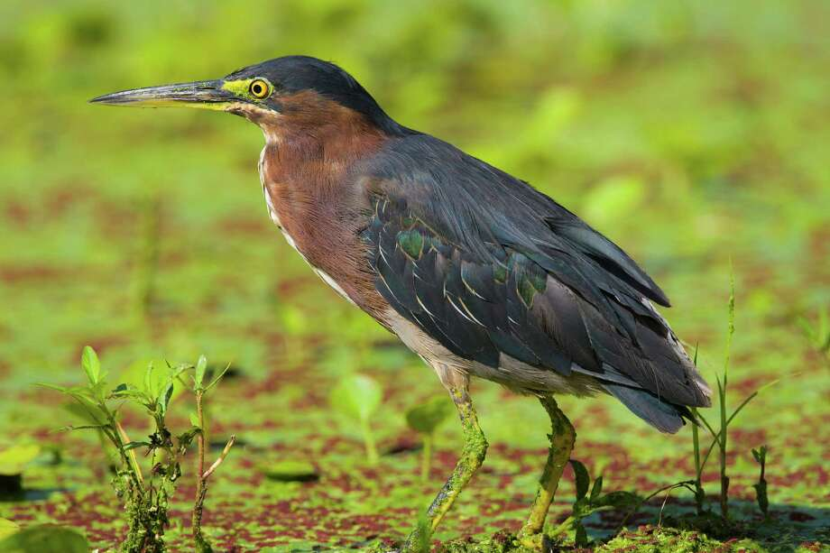 Green heron and other birds are in abundance during the summer at Brazos Bend State Park. Look for them on 40-Acre Lake and other lakes in the park. Photo: Kathy Adams Clark / Kathy Adams Clark/KAC Productions, P O Box 8674, The Woodlands, TX 77387, 281-367-2042, kathyadamsclark@Comcast.net