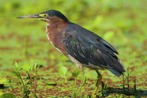 Green heron and other birds are in abundance during the summer at Brazos Bend State Park. Look for them on 40-Acre Lake and other lakes in the park.