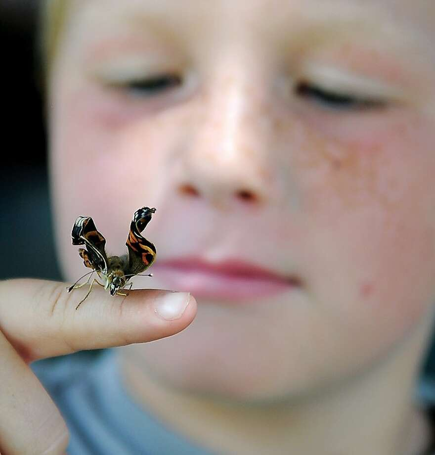 Pre-flight check: Cub Scout Sam Akin watches one of his butterflies begin to unfurl its wings in Enid, Okla. Sam raised the butterflies from caterpillars. Photo: Bonnie Vculek, Associated Press