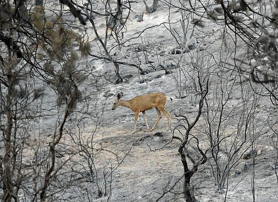 Forest of ashes: A doe walks across a charred landscape after the Mountian Fire raced through woods near 