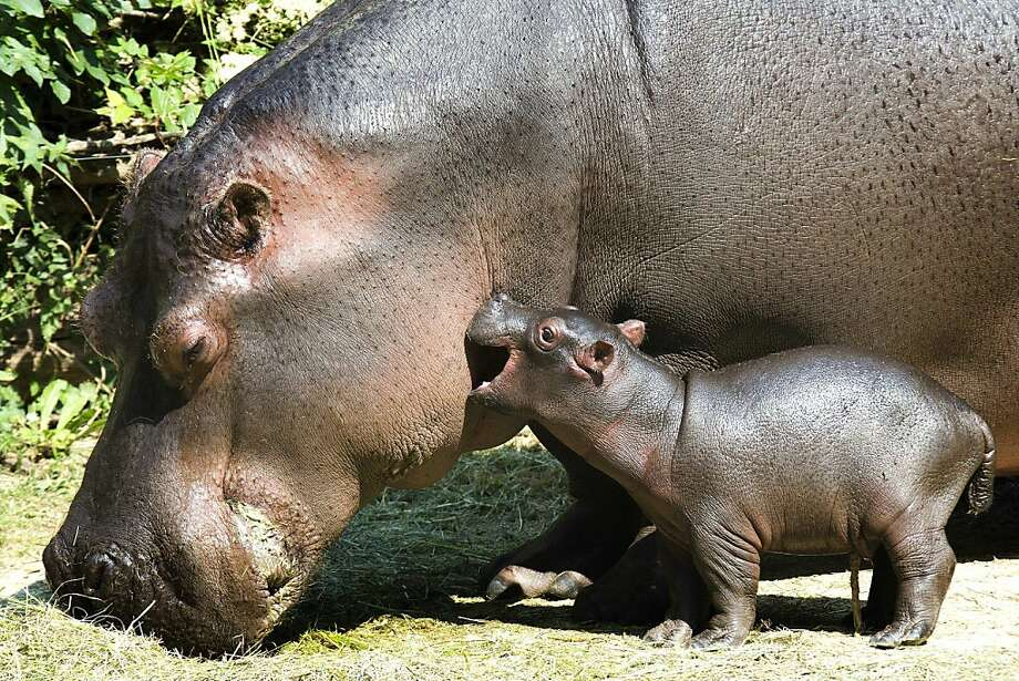 Only 2 days old and already the Basel Zoo's baby hippo has learned how to give Mom a hickey. Photo: Georgios Kefalas, Associated Press