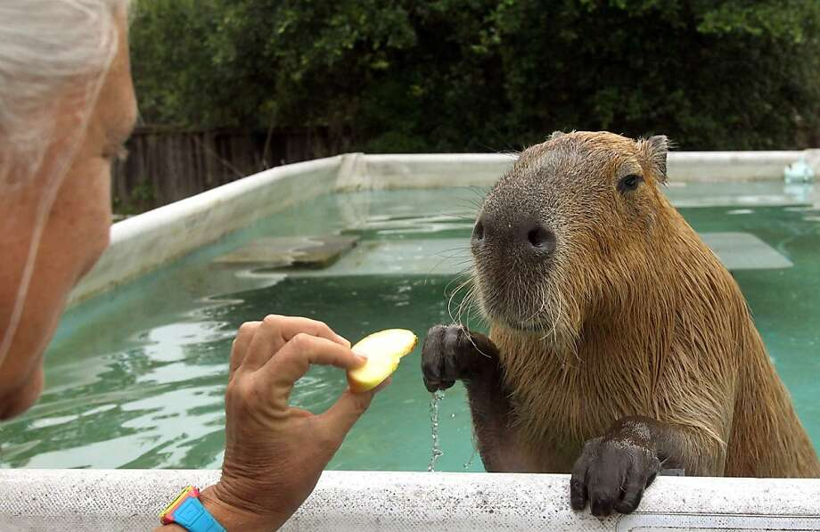 Thank you and could you get me a towel? Gari the capybara enjoys poolside service after a brisk swim at Melanie Typaldos' home in Buda, Texas. Photo: Louis DeLuca, McClatchy-Tribune News Service
