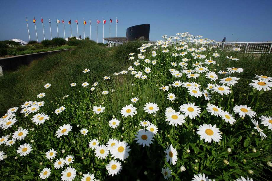 A field of daisies. (AP Photo/Mark Lennihan) Photo: Mark Lennihan / AP