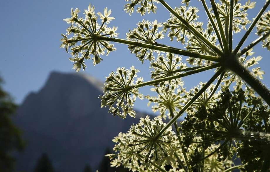 Cow parsnip blooming in Cook's Meadow frames the famous Half Dome in Yosemite National Park, May 22, 2013. (Mark Boster/Los Angeles Times/MCT) Photo: Mark Boster, McClatchy-Tribune News Service
