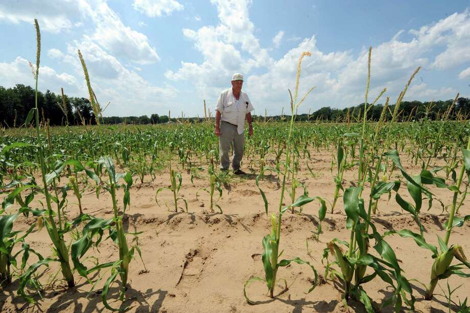Larry DeVoe owner of DeVoe's Rainbow Orchard stands in his corn crop which is behind in it's growth cycle on Friday July 19, 2013 in Clifton Park, N.Y. (Michael P. Farrell/Times Union) Photo: Michael P. Farrell / 00023235A