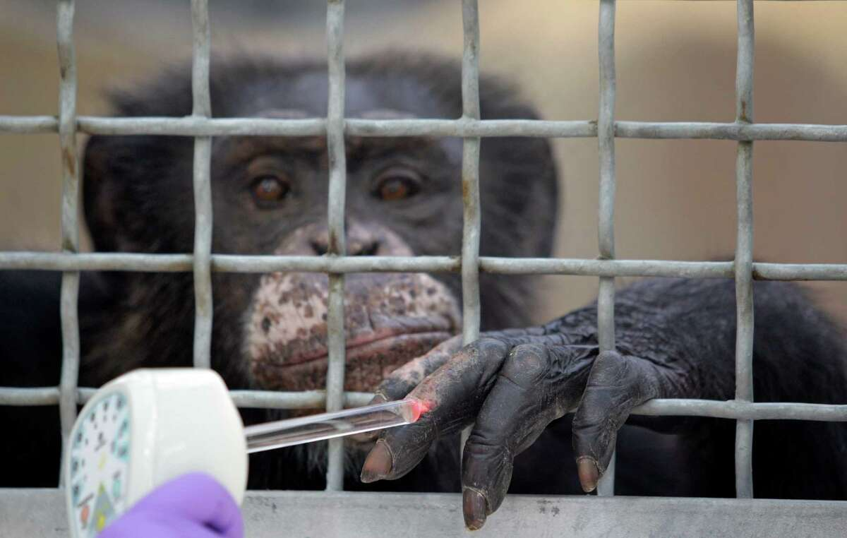 Dr. Elizabeth Magden treats a chimpanzee named Doda with a laser treatment for dermatitis on its hand at MD Anderson Cancer Center's Michael E. Keeling Center for Comparative Medicine and Research, 650 Cool Water, Tuesday, July 2, 2013, in Bastrop.