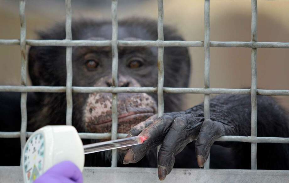 Dr. Elizabeth Magden treats a chimpanzee named Doda with a laser treatment  for dermatitis on its hand at MD Anderson Cancer Center's Michael E. Keeling Center for Comparative Medicine and Research, 650 Cool Water, Tuesday, July 2, 2013, in Bastrop. Photo: Melissa Phillip, Houston Chronicle / © 2013  Houston Chronicle