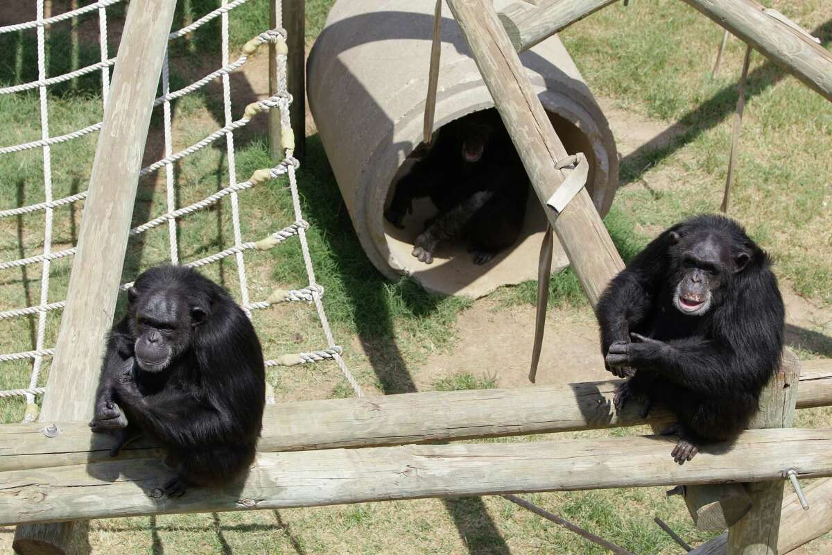 A group of chimpanzee shown at MD Anderson Cancer Center's Michael E. Keeling Center for Comparative Medicine and Research, 650 Cool Water, Tuesday, July 2, 2013, in Bastrop.